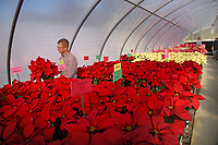 Poinsettia growers get a first-hand look at new varieties of plants at Poinsettia Field Day in a Raulston Arboretum greenhouse.
