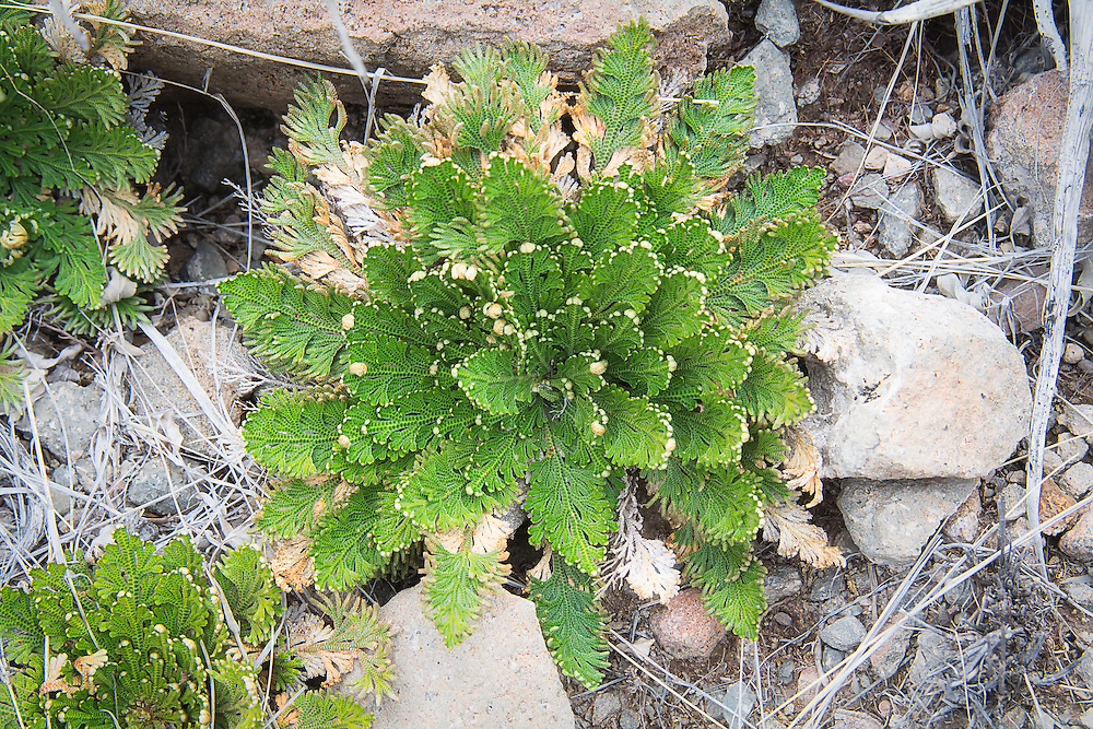 Easily one of the coolest plants to be found in the Chihuahuan desert, and goes by a long list of common names, such as the Rose of Jericho, resurrection plant,  dinosaur plant, siempre viva, stone flower, doradilla, resurrection flower and many more. This attractive member of the spikemoss family looks almost like a lush, green fern during the rainy season in its native habitat of Northern Mexico, Texas and New Mexico, but during dry spells, it desiccates into a brown dormant ball that looks like a tumbleweed, only to rehydrate back to bright, vibrant green after it rains again. These were found in abundance after the springtime rains in West Texas' Big Bend National Park.