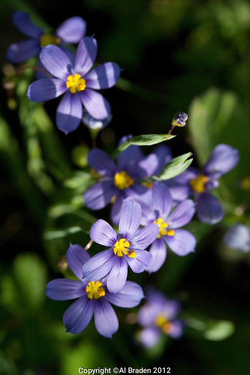 Blue-eyed Grass, (Sisyrinchium sagittiferum), Gonzales County, Texas