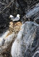 Black-legged Kittiwake, Rissa tridactula, Spitsbergen, Svalbard