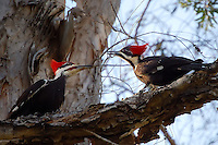 A pair of pileated woodpeckers in Fort Myers, Florida. One cannot mistake them for anything else in the wild. When drumming on trees, it literally sounds like a jackhammer!
