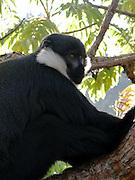 Rwanda - L'Hoest's monkey (Cercopithecus lhoesti), Nyungwe National Park.