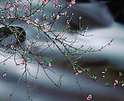 Crab apple blossoms along the Oconaluftee River, Great Smoky Mountains National Park, North Carolina