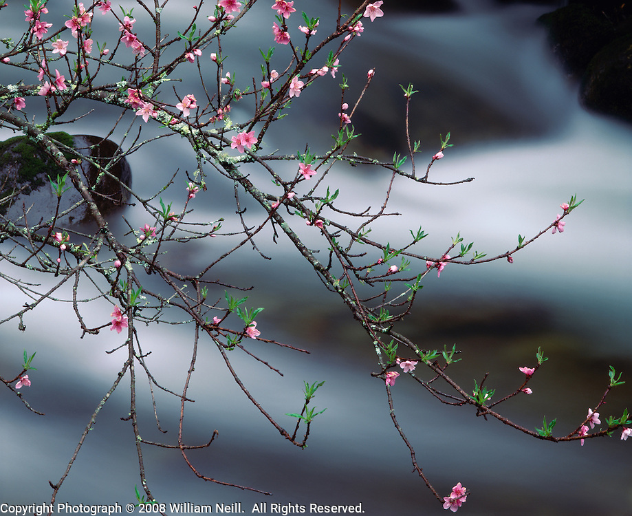 Crab apple blossoms along the Oconaluftee River, Great Smoky Mountains National Park, North Carolina