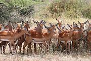 Africa, Tanzania, Serengeti National Park. A herd of Impala Aepyceros melampus April 2007