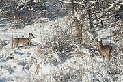 Two white-tailed deer walk through a fresh snowfall.