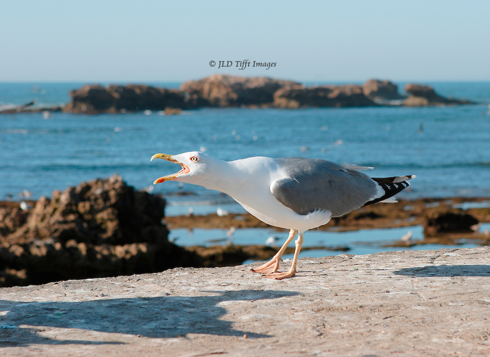 Atlantic seagull standing on a harbor wall screams for fish, beak wide open.  He is demanding and intense in his posture.