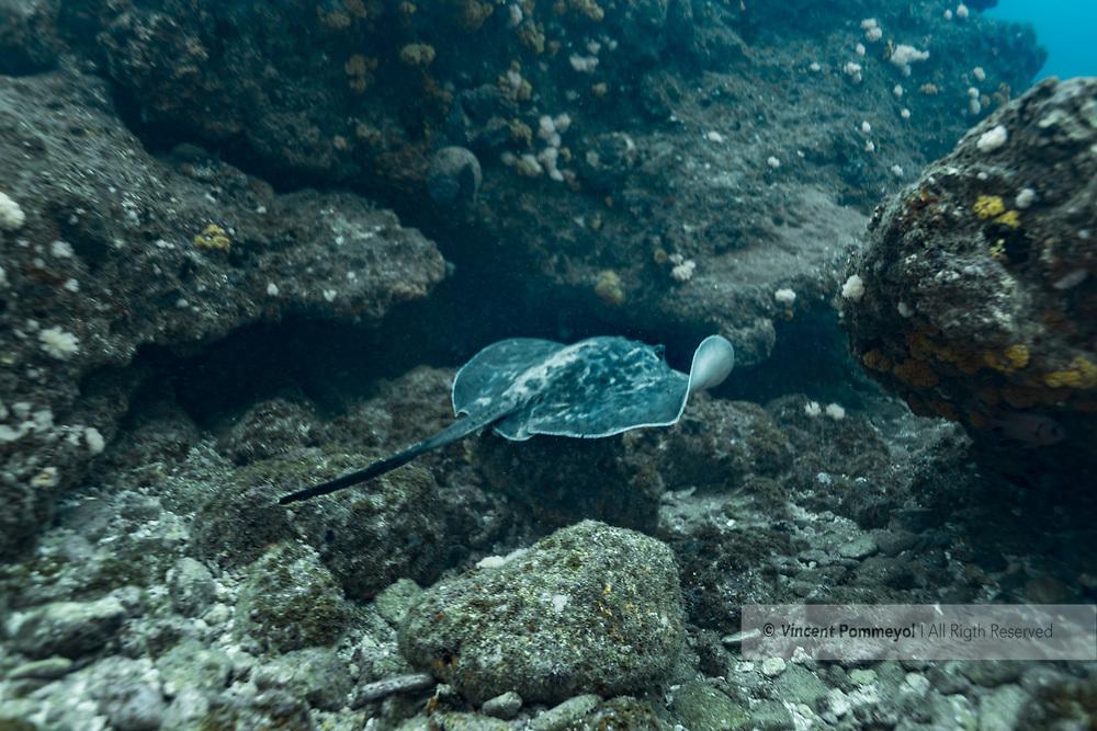 Blackblotched stingray-Raie pastenague noire (Taeniura meyeni), indian ocean, South Africa.