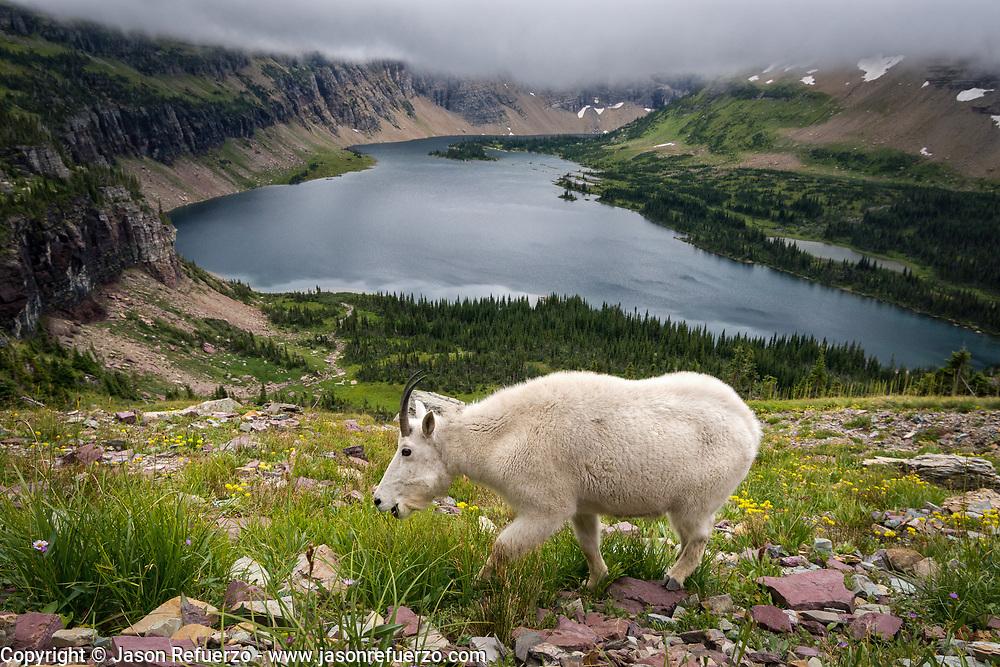 Mountain goat above Hidden Lake, Glacier National Park, MT