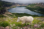 Mountain goat above Hidden Lake, Glacier National Park, MT