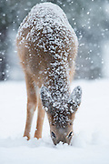 A White-tailed fawn (Odocoileus virginianus) digs through the snow for forage, Missoula, Montana