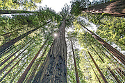 Scenic View of California Redwoods