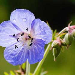 Geraniaceae, Ooievaarsbekfamilie