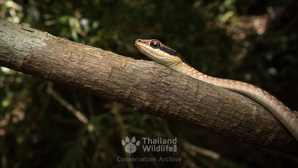 Nganson's Bronzeback (Dendrelaphis ngansonensis) head shot in Khao Yai national park, Thailand