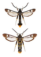 Orange-tailed Clearwing - Synanthedon andrenaeformis<br /> 52.010 BF378