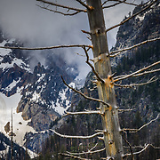 A remaining tree skeleton after a forest fire in Grand Teton National Park near Jackson, Wyoming.