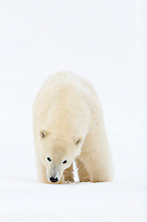 Polar bear cub, Arctic National Wildlife Refuge, USA.