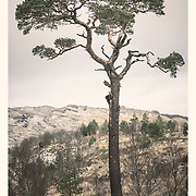 An indigenous Scots pine from Glen Falloch, one of the remnants of Caledonian forest once widespread in Scotland