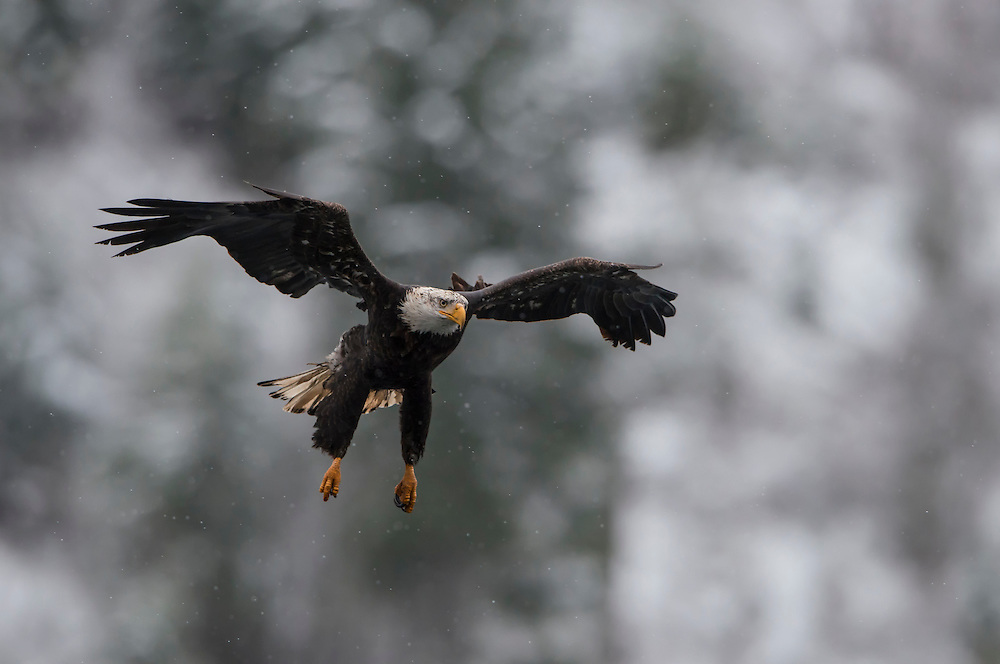 A Bald Eagle (Haliaeetus leucocephalus) prepares to catch a fish by first extending his legs out from his body, Idaho