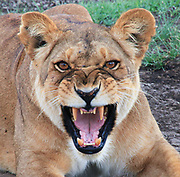 Roaring female African lioness. Photographed in Serengeti national Park, Tanzania