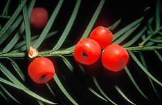 Taxusfamilie, Taxaceae