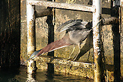 A Green Heron darts his head towards an unwary fish on a rusty ladder that's attached to a concrete pylon on a Key West dock.