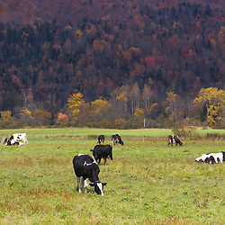 Cows on a farm in Pittsburg, New Hampshire.