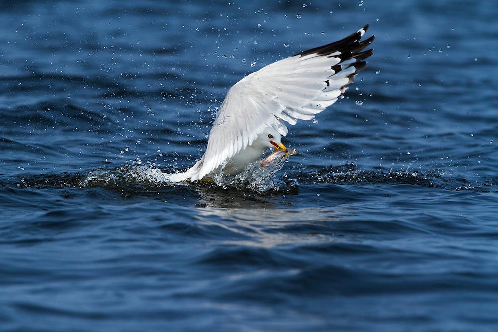 Canada, Manitoba, Churchill, Herring Gull (Larus argentus) grabs small spawning herring fish on Hudson Bay