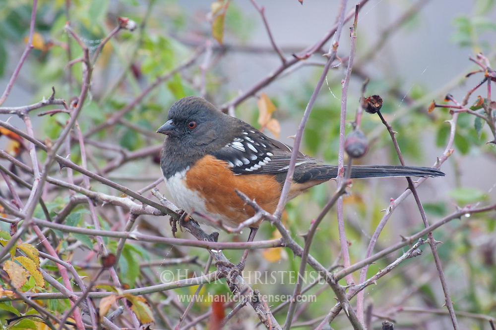 Spotted Towhee perches on a tree branch in overcast sky