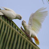 Philippines Cockatoo