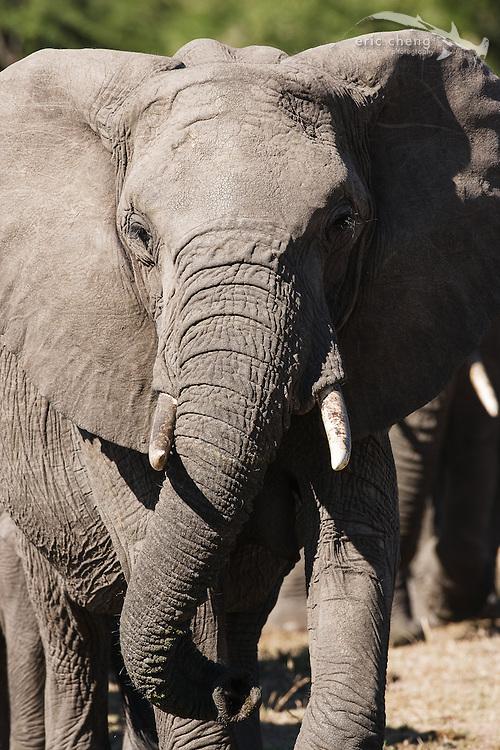 African bush elephant (Loxodonta africana), Serengeti, Tanzania