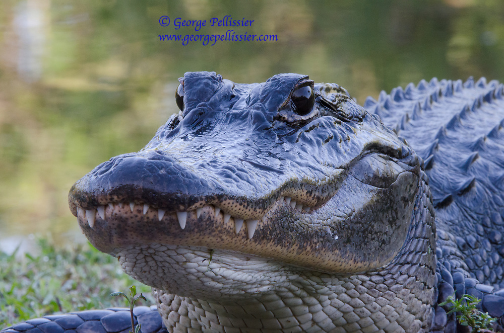 An adult alligator at Shark Valley, Everglades National Park.