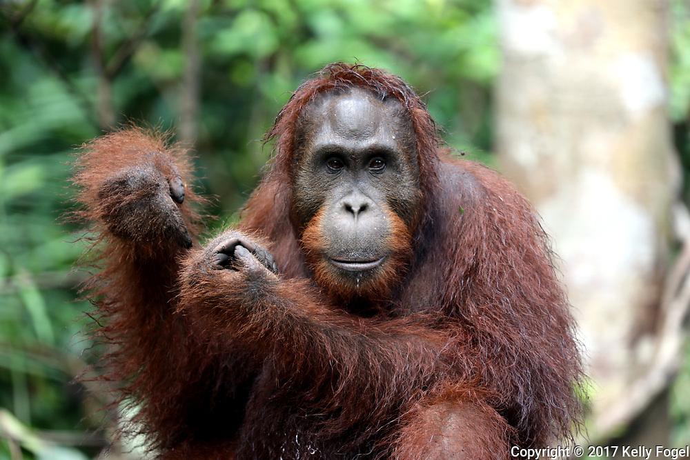 Wild &amp; Ex-Captive Orangutans<br /> Borneo, Indonesia<br /> Camp Leakey<br /> (founded by Dr. Birute Galdikas in 1971)