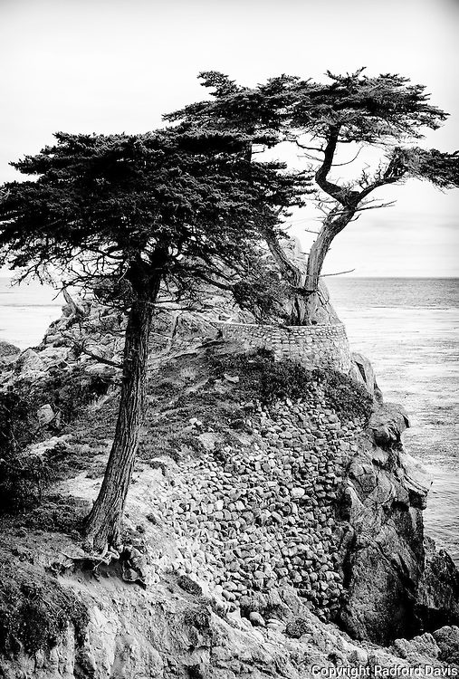 Cypress tress of Monterey, California. Black and white.