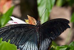 19 October 2010: butterfly, unidentified.  St. Louis Zoo, St. Louis Missouri (Photo by Alan Look)