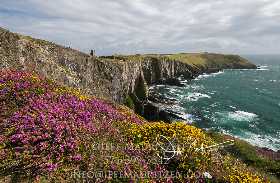 Heather blooms on the cliffs at Old Head of Kinsale, County Cork, Ireland.
