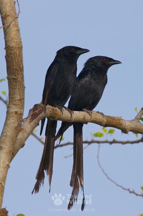 Black Drongo Dicrurus macrocercus cathoecus