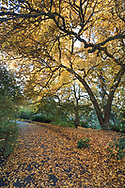 Autumn leaves below a Star Magnolia (Magnolia stellata) along a path at Queen Elizabeth Park in Vancouver, British Columbia, Canada.
