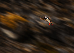 Atlantic Puffin (Fratercula arctica) near bird cliffs in Spitsbergen, Svalbard