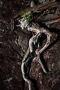 Sao Goncalo do Rio Preto_MG, Brasil...Parque Estadual do Rio Preto, em Sao Goncalo do Rio Preto, Minas Gerais. Na foto detalhe de uma raiz...The Rio Preto State Park, in Sao Goncalo do Rio Preto, Minas Gerais. In this photo a roof...Foto: LEO DRUMOND / NITRO