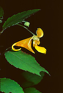 Spotted Jewelweed, or Touch-me-not