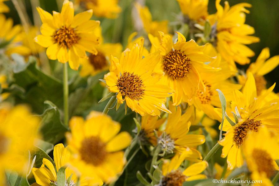 Arrowleaf Balsomroot wildflowers in spring in Montana