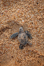Volontari alla riscossa per difendere le tartarughe.