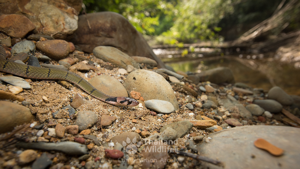 Black-banded Keelback (Rhabdophis nigrocinctus) in its habitat in Khlong Nakha Wildlife Sanctuary, Thailand