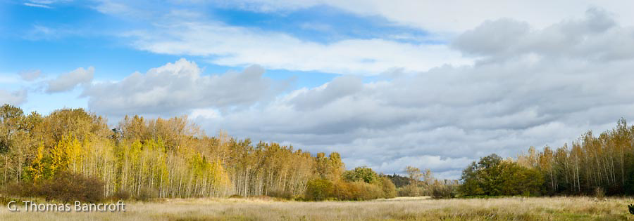 Aspens adjacent to an overgrown field provide a warm and lively feeling to an autumn day.  I can just stand here enjoying the russell of the leaves in the wind.  Several hawks soared overhead as we enjoyed the moment.
