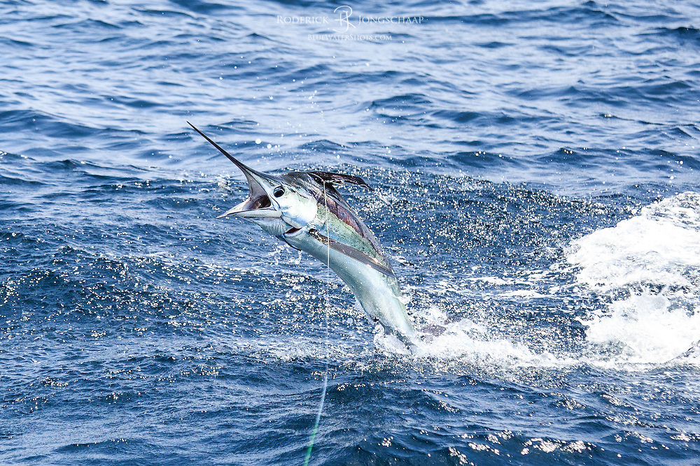 White Marlin showing beautiful metallic colours as he jumps towards the lens offshore Lobito, Angola
