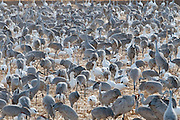 Snow Geese, Chen caerulescens & Sandhill Cranes, Grus canadensis, Bosque del Apache NWR, New Mexico