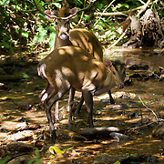 The Fea's Muntjac or Tenasserim muntjac (Muntiacus feae) is a rare species of muntjac native to China, Laos, Myanmar, Thailand and Vietnam. Photo in Kaeng Krachan National Park, Thailand.
