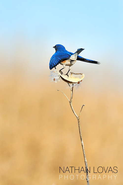 Eastern Bluebird (Sialia sialis) adult male landing;  Minnesota.