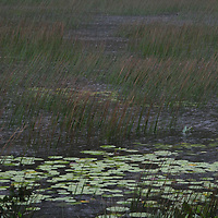 Grassy marsh with water lilies.